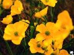 Yellow poppies, Iceland