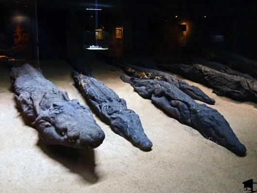 Mummified crocodiles